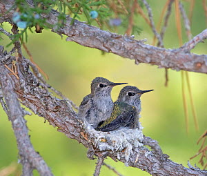 Anna's hummingbird (Calypte anna) chicks about  to fledge, in their nest in juniper tree in southwest Reno. Nevada, USA, July  -  Diane McAllister