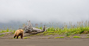 Brown bear (Ursus arctos) strolling along the beach in the rain, looking towards the camera. Lake Clark National Park, Alaska, USA, July  -  Diane McAllister
