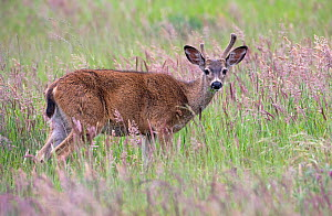 Black-tailed deer (Odocoileus hemionus columbianus), subspecies of the Mule deer. This young buck eating grass pauses to watch the photographer on a trail in Point Reyes National Seashore. California,... - Diane McAllister
