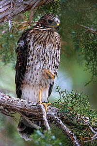 Cooper's hawk (Accipiter cooperii) fledgling standing one-legged on a branch while hunting in suburban neighborhood in Reno. Nevada, USA, July  -  Diane McAllister