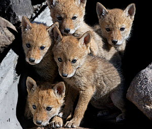 Five curious Coyote pups (Canis latrans) at the entrance of their den, looking up at the camera. Suburban southwest Reno, Nevada, USA, April  -  Diane McAllister