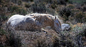 Wild stallion horse (Equus caballus) lying down to rest after a battle with another stallion over a mare. Palomino Valley, Nevada, USA, April.  -  Diane McAllister