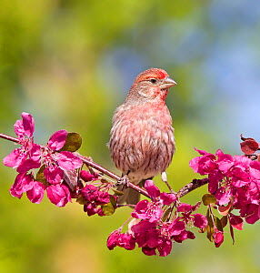 Male House finch (Carpodacus mexicanus) perching on profusion crabapple branch with blooms, in a backyard in Reno. Nevada, USA, May  -  Diane McAllister
