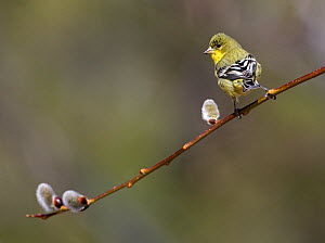 Lesser goldfinch (Carduelis psaltria) perched on  willow branch in a backyard in Reno. Nevada, USA, March  -  Diane McAllister