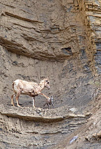 Female Rocky Mountain bighorn sheep ewe (Ovis canadensis canadensis) warning her newborn lamb that a rocky ledge is too close and dangerous. She places her front hoof on the baby's back, stopping it f... - Diane McAllister