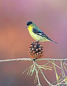 Lesser goldfinch (Carduelis psaltria) perching on a pine cone in a backyard in Reno. Nevada, USA, April  -  Diane McAllister