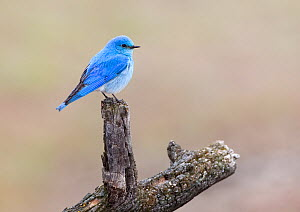 Male Mountain bluebird (Sialia currucoides) resting on a perch in Mammoth Springs. Yellowstone National Park, Wyoming, USA, May  -  Diane McAllister