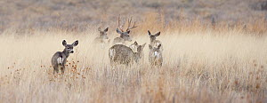 Small herd of Mule deer (Odocoileus hemionus) moving slowly through tall dry grass in a field. Bosque del Apache, New Mexico, USA, February - Diane McAllister