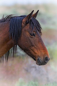 Portrait of a wild Horse (Equus caballus). The foothills of southwest Reno, Nevada, USA, May.  -  Diane McAllister