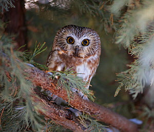 Northern saw-whet owl (Aegolius acadicus) roosting in a juniper tree in a backyard in Reno. Nevada, USA, December  -  Diane McAllister
