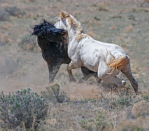 Two wild stallions (Equus caballus) battle over a mare. Palomino Valley, Nevada, USA, April.  -  Diane McAllister