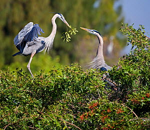 Great blue heron (Ardea herodias) landing with branch for its mate, who is constructing their nest on a treetop. Venice Rookery, Florida, USA, January  -  Diane McAllister