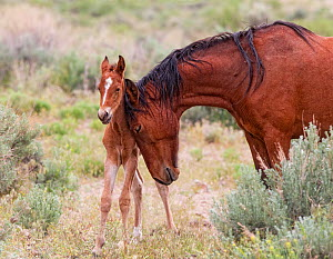 A wild newborn colt (Equus caballus) standing up being nuzzled by its mother. Foothills of Reno, Nevada, USA, May. - Diane McAllister