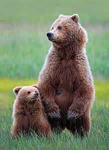 Coastal Brown bear (Ursus arctos horribilis) female and her cub standing in the long grass. She is looking warily at an approaching boar. Lake Clark National Park, Alaska, USA, July  -  Diane McAllister