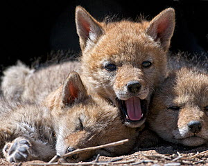 A Coyote pup (Canis latrans)wwith sleeping siblings. Suburban southwest Reno, Nevada, USA, April - Diane McAllister