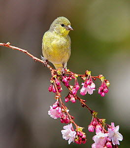 Lesser goldfinch (Carduelis psaltria) perching on a cherry branch which is just starting to bloom in a Reno backyard. Nevada, USA, April  -  Diane McAllister