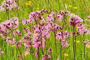 Ragged robin (Silene flos-cuculi) flowers in meadow, UK, May  -  Steve Nicholls