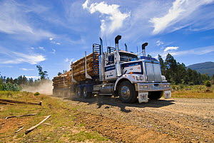 Heavy truck carrying logs from logging of secondary forest, Florentine valley, Tasmania, Australia, February 2007  -  Steve Nicholls