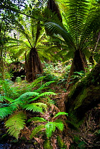 Soft tree fern (Balantium antarcticum) in forest, Tasmania, Australia, January - Steve Nicholls