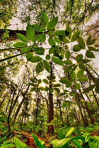 Looking up through the leaves of Wild sarsaparilla (Aralia nudicaulis) in woodland, Cape Cod, Massachusetts, USA, May  -  Steve Nicholls