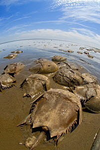 Horseshoe crabs (Limulus polyphemus) spawning at low tide, Slaughter Beach, Delaware, USA, May  -  Steve Nicholls