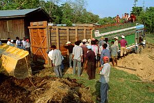 Indian / Asian rhinoceros (Rhinoceros unicornis) being loaded into transport crate at Chitwan NP, Nepal, for translocation to Royal Bardia NP, Nepal, 2003  -  JEFF FOOTT
