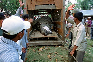 Indian / Asian rhinoceros (Rhinoceros unicornis) sedated, being loaded into transport vehicle at Chitwan NP, Nepal, for translocation to Royal Bardia NP, Nepal, 2003  -  JEFF FOOTT