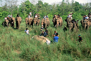 Indian / Asian rhinoceros (Rhinoceros unicornis) sedated by dart for translocation to Royal Bardia NP,  surrounded by men on Asian elephants, Chitwan NP, Nepal, 2003  -  JEFF FOOTT