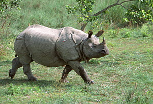 Indian / Asian rhinoceros (Rhinoceros unicornis) before collapsing, darted for sedation prior to translocation to Royal Bardia NP, Chitwan NP, Nepal, 2003  -  JEFF FOOTT