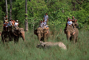 Indian / Asian rhinoceros (Rhinoceros unicornis)  surrounded by men on Asian elephants prior to darting and sedation for translocation to Royal Bardia NP, Chitwan NP, Nepal, 2003  -  JEFF FOOTT