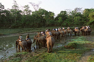Working Elephants drinking from river at the end of the day after searching for and darting Indian / Asian rhinoceros (Rhinoceros unicornis) for sedation and translocation to Royal Bardia NP, Chitwan...  -  JEFF FOOTT