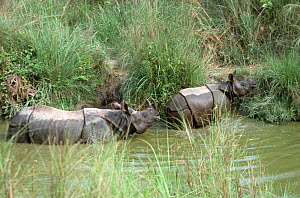 Indian / Asian rhinoceros (Rhinoceros unicornis) mother and young leaving pool after bathing, Chitwan NP, Nepal  -  JEFF FOOTT