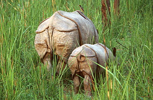 Indian / Asian rhinoceros (Rhinoceros unicornis) rear view of mother and young in long grass, Chitwan NP, Nepal  -  JEFF FOOTT
