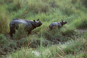 Indian / Asian rhinoceros (Rhinoceros unicornis) mother and young in long grass beside water, Chitwan NP, Nepal  -  JEFF FOOTT