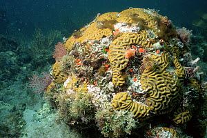 Brain coral bleached by raised water temperature, Dry Tortugas NP, Florida, USA  -  JEFF FOOTT