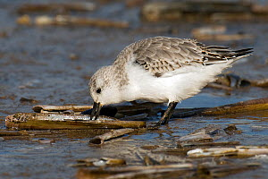 Sanderling (Calidris alba) feeding on razor shell. Norfolk, UK, October.  -  Andy Sands