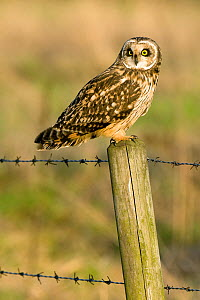 Short Eared Owl (Asio flammeus) perching on fence post in evening sunlight. Lincolnshire, England, UK, February. - Andy Sands