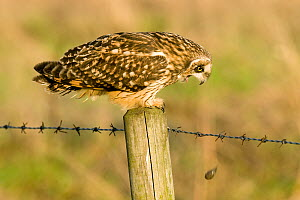 Short Eared Owl (Asio flammeus) coughing up an owl pellet. Lincolnshire, England, UK, February.  -  Andy Sands