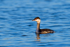 Slavonian / Horned Grebe (Podiceps auritus) in winter plumage on water. Thorney Island, Hampshire, England, UK, January.  -  Andy Sands