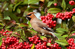Bohemian Waxwing (Bombycilla garrulus) perching among Cotoneaster berries. Hertfordshire, England, UK, February. - Andy Sands