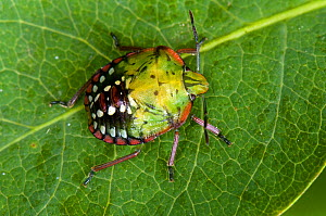 Shield Bug (Nezarla viridula) fourth instar, new arrival in UK, London, England, July  -  Andy Sands