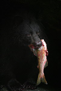 American black bear (Ursus americanus) carrying trout in mouth, Alaska, USA, August  -  Nature Production
