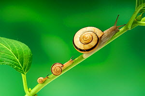 Snail (Euhadra herklotsi) adult and larvae on plants stem, Japan - Nature Production