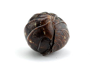 Common pill bug / woodlouse (Armadillidium vulgare) rolled up in ball, on white background, Japan - Nature Production