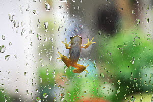Japanese tree frog  (Hyla japonica) climbing up glass with raindrops, Japan - Nature Production