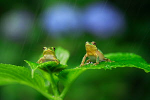 Two Japanese tree frogs  (Hyla japonica) sitting on leaf in rain, Japan, June - Nature Production