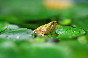 Japanese tree frog (Hyla japonica) sub adult coming up out of water onto land, on aquatic leaf, Japan, Fukuoka, Japan, June - Nature Production