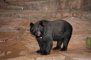 Asiatic Black Bear (Ursus thibetanus) captive, Tennoji Zoo, Osaka, Japan  -  Nature Production