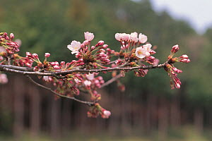 Cherry tree (Prunus / Cerasus sp) Shiga, Japan, spring flowering sequence 2/7, buds opening, April  -  Nature Production