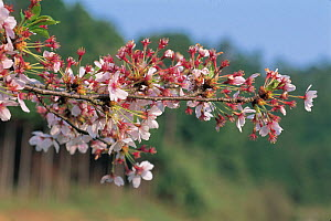 Cherry tree (Prunus / Cerasus sp) Shiga, Japan, spring flowering sequence 4/7, flowers fading, April  -  Nature Production